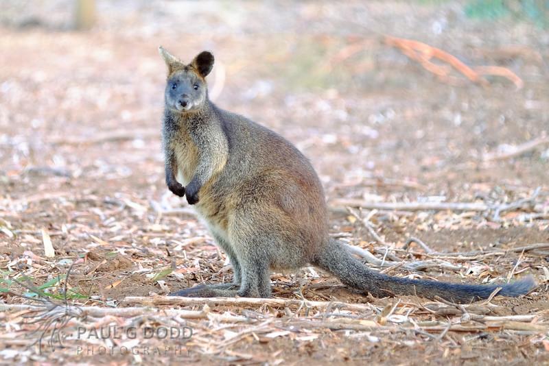 Swamp Wallaby (captive)