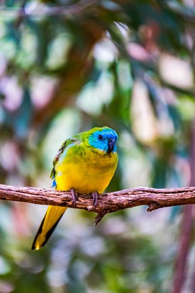 Turquoise Parrot (captive)