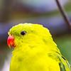 Regent Parrot (captive)
