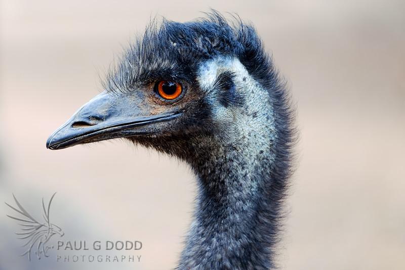 Emu (captive)