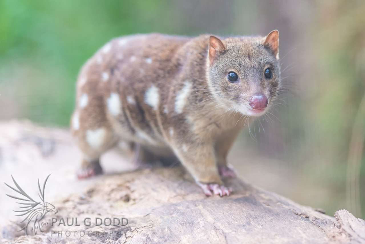 Spotted (Tiger) Quoll