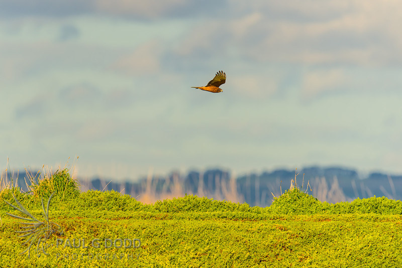 Swamp Harrier