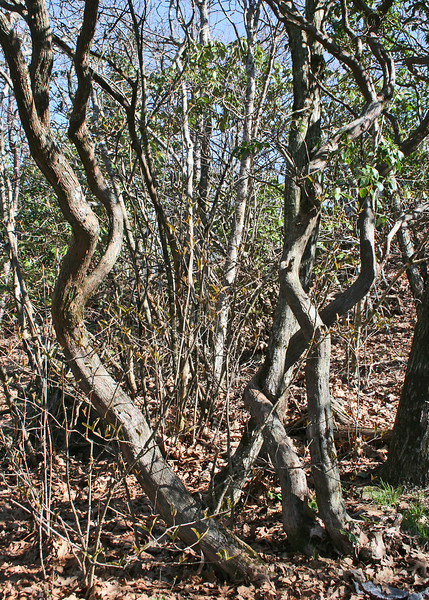 Gnarled trees along trail to top of Brasstown Bald