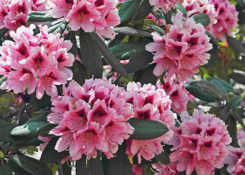 Rhododendron at Hamilton Garden in Hiawassee, GA