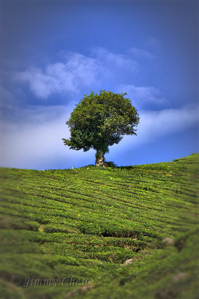 Tree on tea plantation.