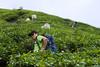 Mervyn in the tea plantation.