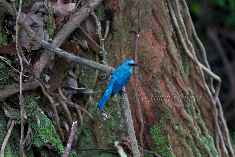 Right at the MNS centre. As advised by MNS volunteer Pasupathy, this species is Verditer Flycatcher.