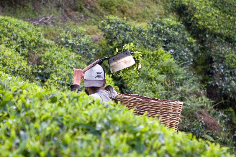Worker harvesting tea leaves. He wore a Billabong cap.