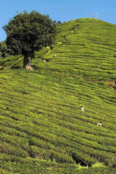 Workers on tea plantation.
