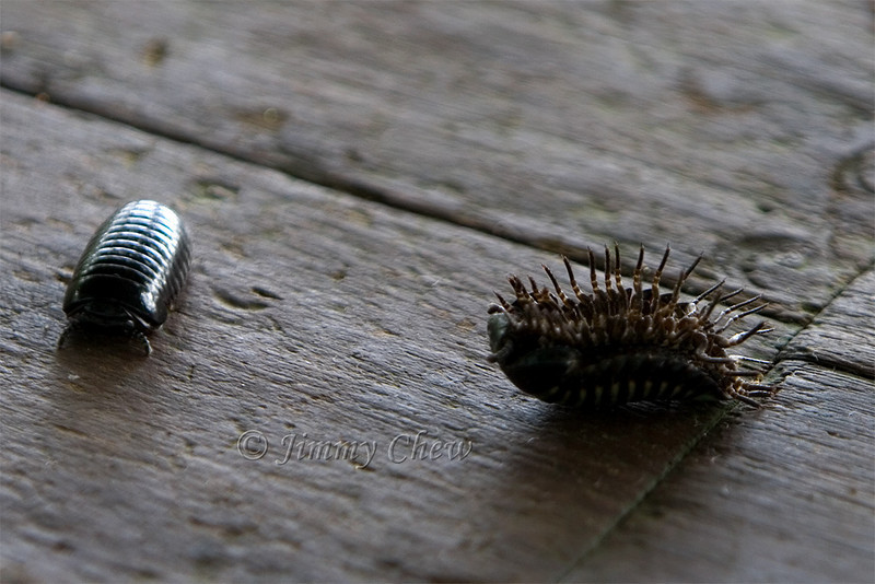 Pill Millipede - one is back on its feet - the other opened up on the wrong side.