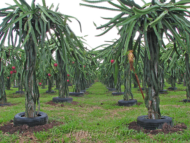 Dragon Fruit (also Pitaya) farm.