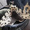 A moth.