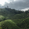 Tea plantation on the slopes of G. Beluat (where the airstrip is).