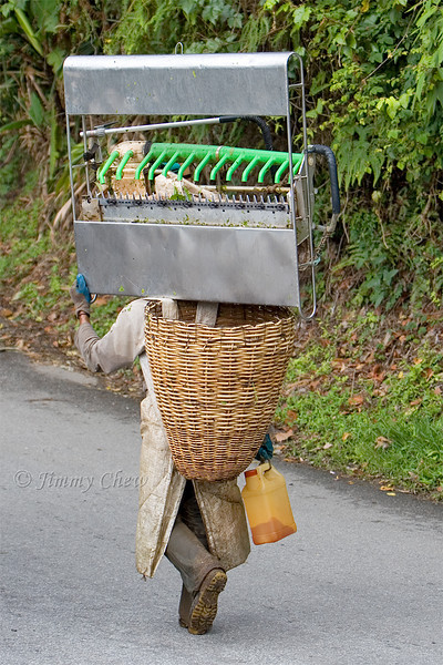 A worker on the way to harvest tea leaves.