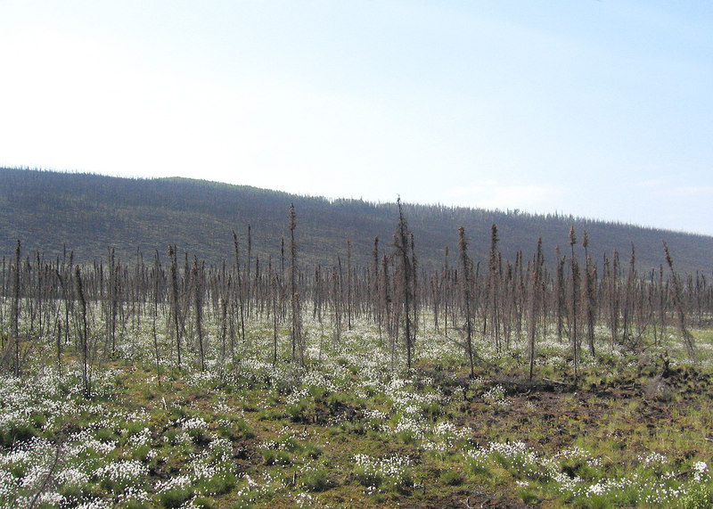 One of the bun areas where you can see white flowers growing in amongst the trees along Steece Highway