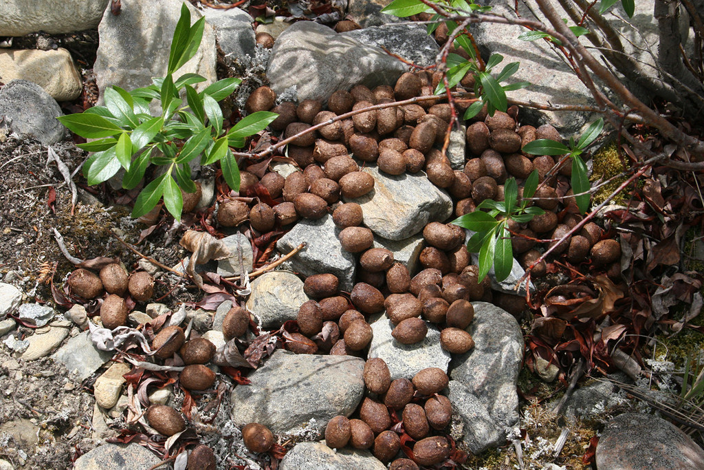Moose droppings - yes, I know it is gross but just thought you might be interested!