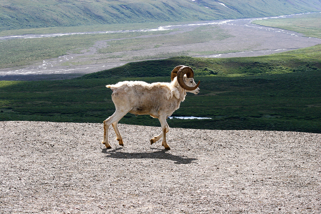 Dall sheep on the road