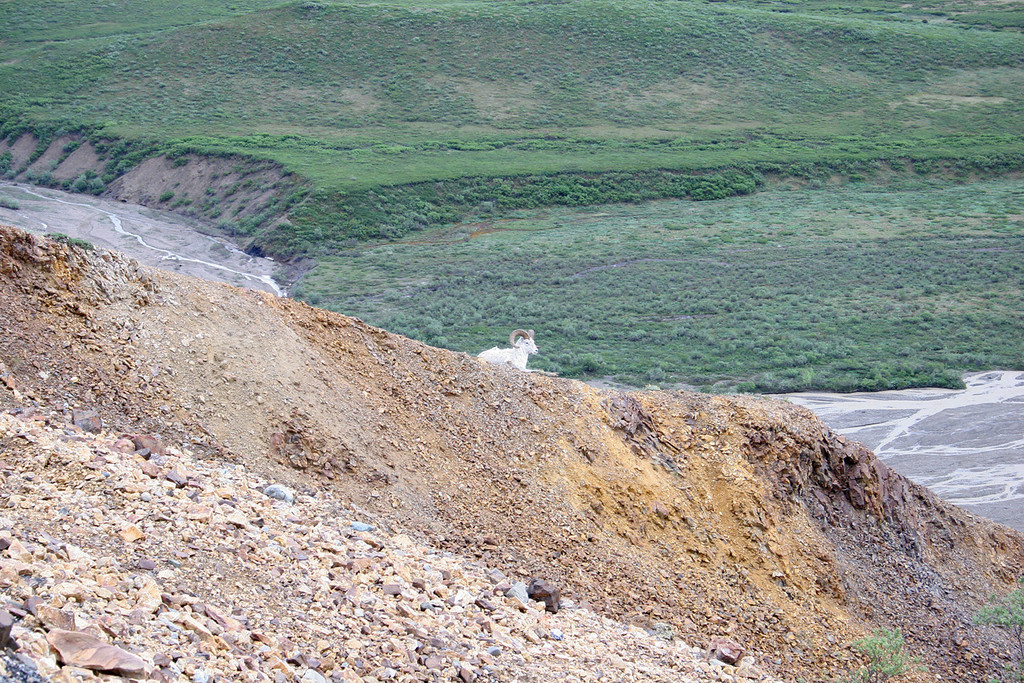 A male Dall sheep on the ridge