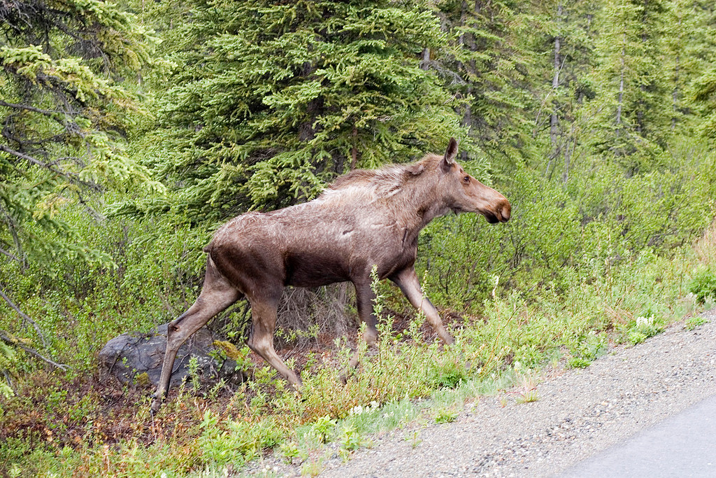 This is the moose running onto the road