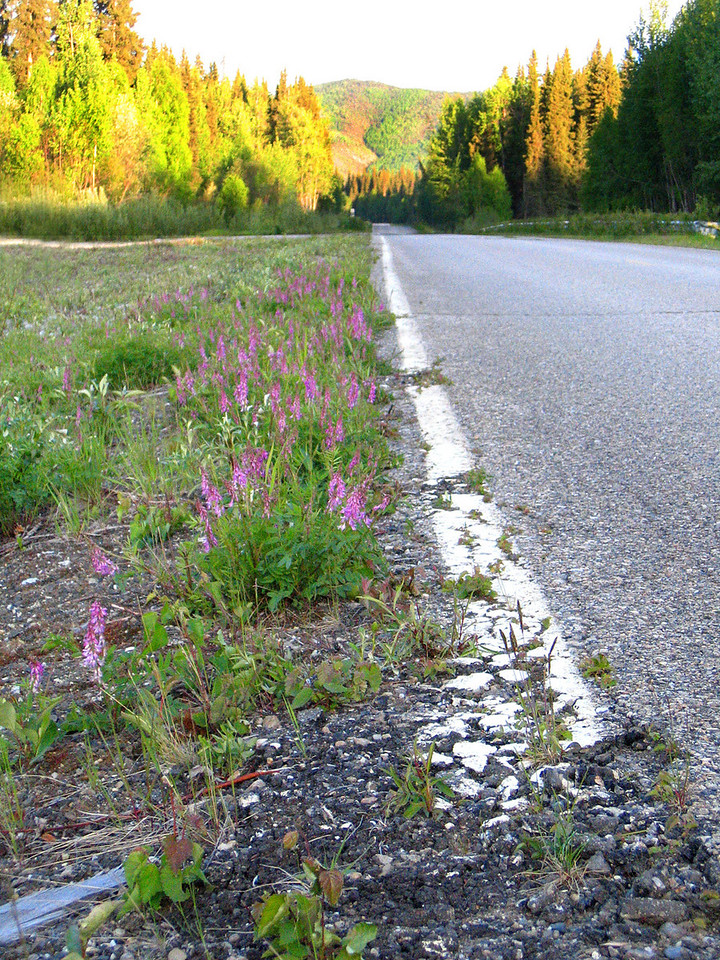 Flowers along the road 43 miles from Fairbanks, AK