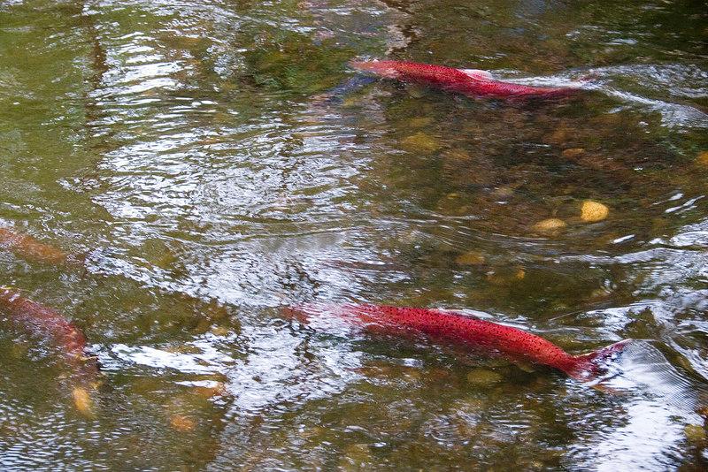 Spawning salmon in Crooked Creek