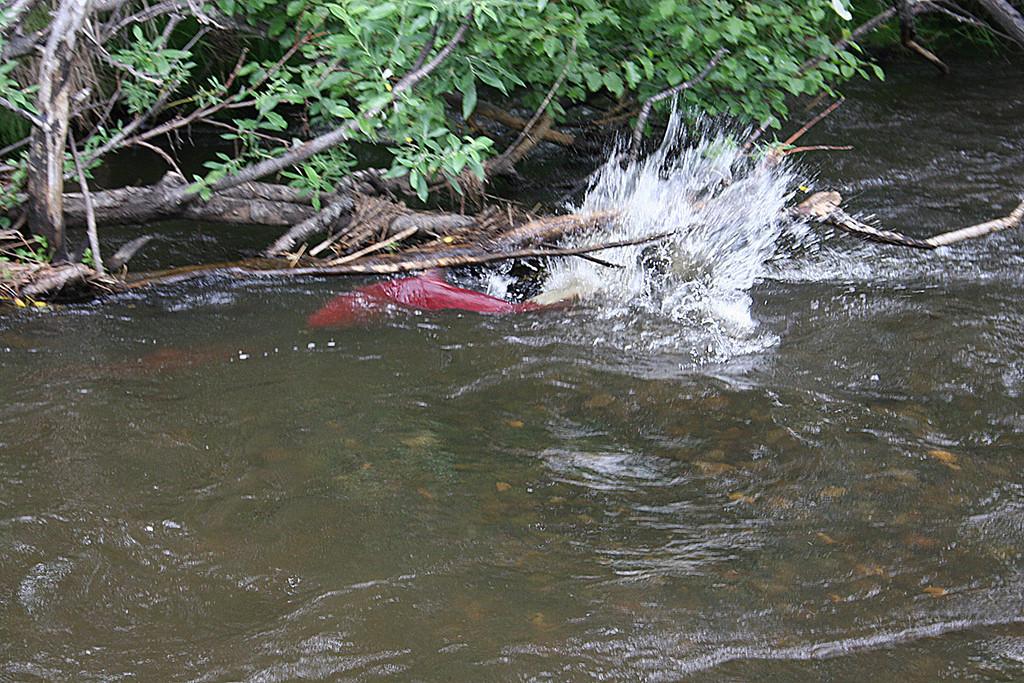 Salmon spawning in Crooked Creek near Kasilof RV Park, Kasilof, AK