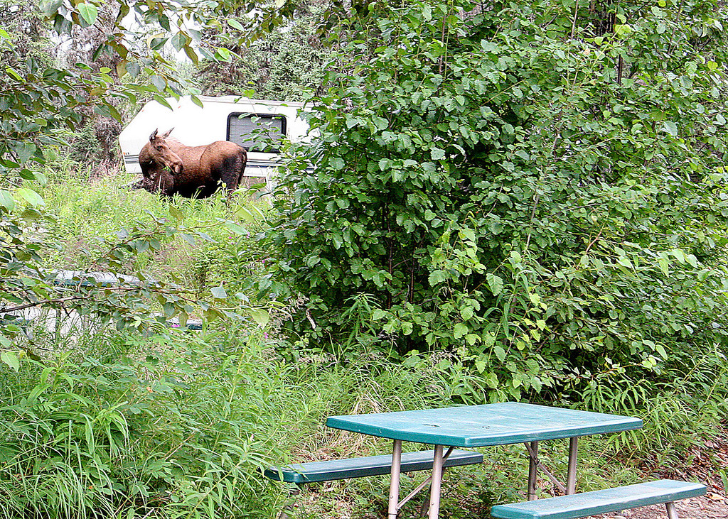 A moose walks through Kasilof RV Park