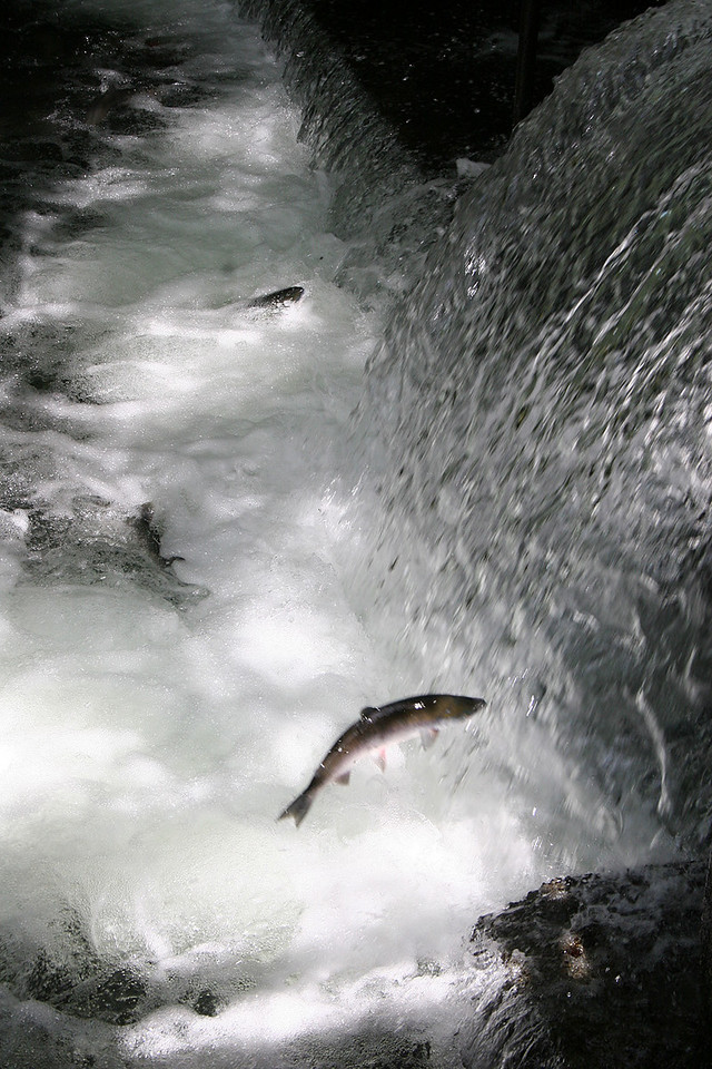 Salmon jumping at Bear Creek Weir