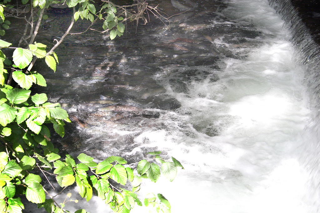 Salmon waiting to move up stream to spawn at Bear Creek