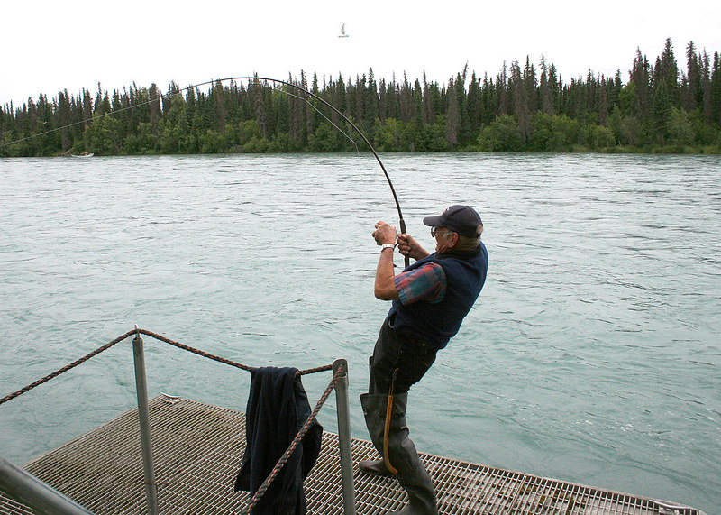 Fisherman reeling in a big sockeye salmon from the Kenai River at the state campground along Funny River Road