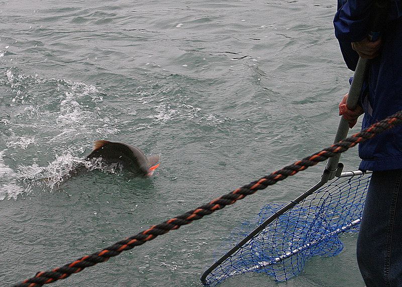 The sockeye salmon being netted from the Kenai River