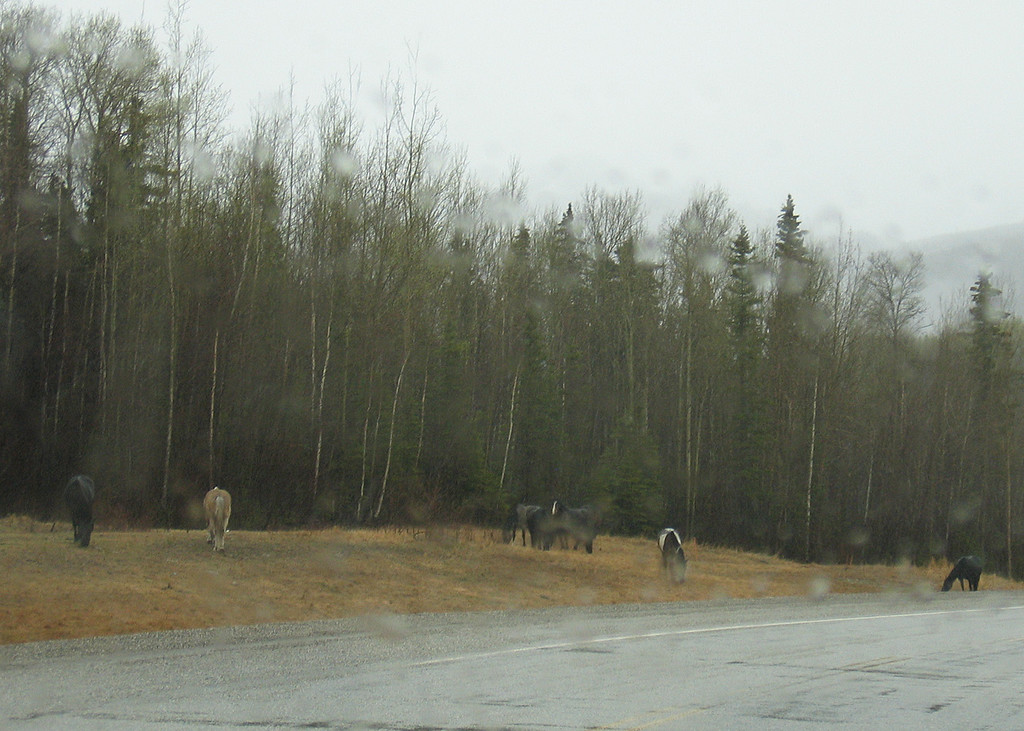 Horses crossing the road just before Liard Hot Springs