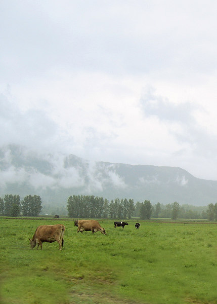 Cows as we are coming into Sumas, WA