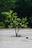 A young, mangrove tree standing alone.