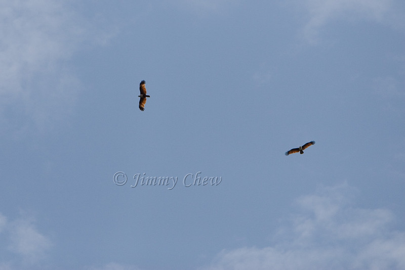 A couple of raptors circling high up above.