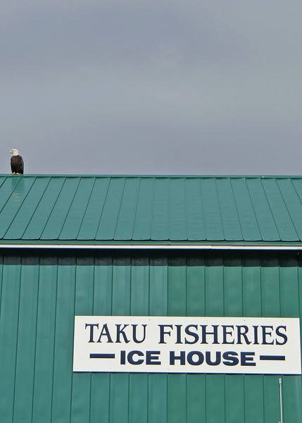 Balk eagle stays all day on the roof of this ice house