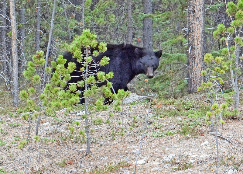 On our bus ride up we came across this bear who was posing for us.  He stretched up on a tree and clawed at it.  Then he sauntered along side the bus for about 5 minutes.  Got some wonderful pictures and videos of him.