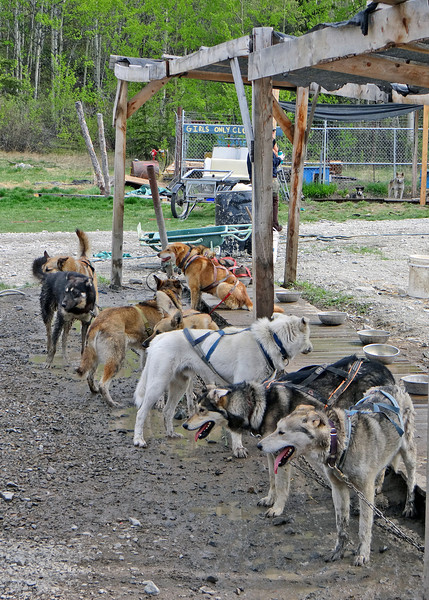 Sled dogs harnessed and ready