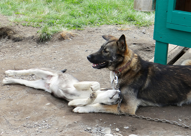 Mama and puppy sled dog