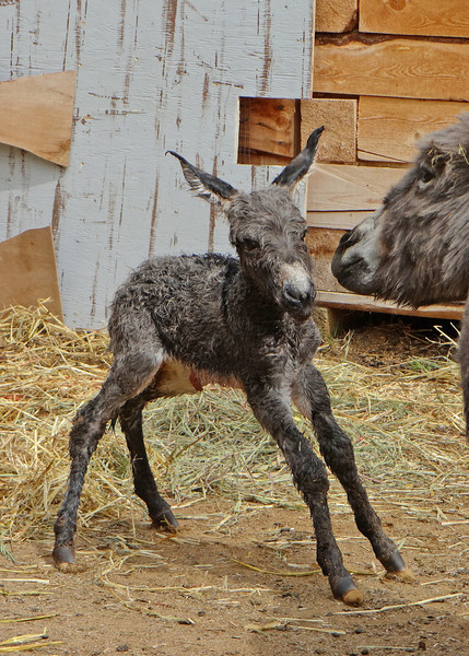 Brand new baby donkey.  He was born about 10 minutes before I took this pictures.  He was still getting his legs, so wobbly he hadn't yet taken a step.