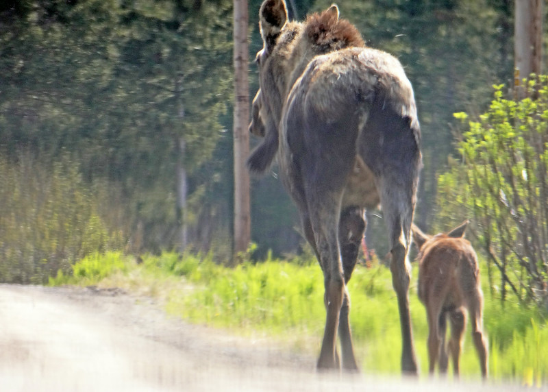 Moose and baby out for a stroll