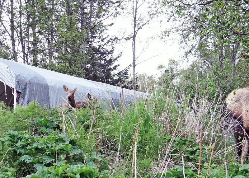 Look closely, there are twin baby moose!
