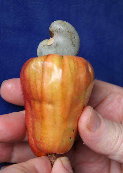 "The Cashew nut is that greenish thing on top.  The reddish/orange is called the cashew apple.  It is edible, and has a strong ""sweet"" smell and a sweet taste."