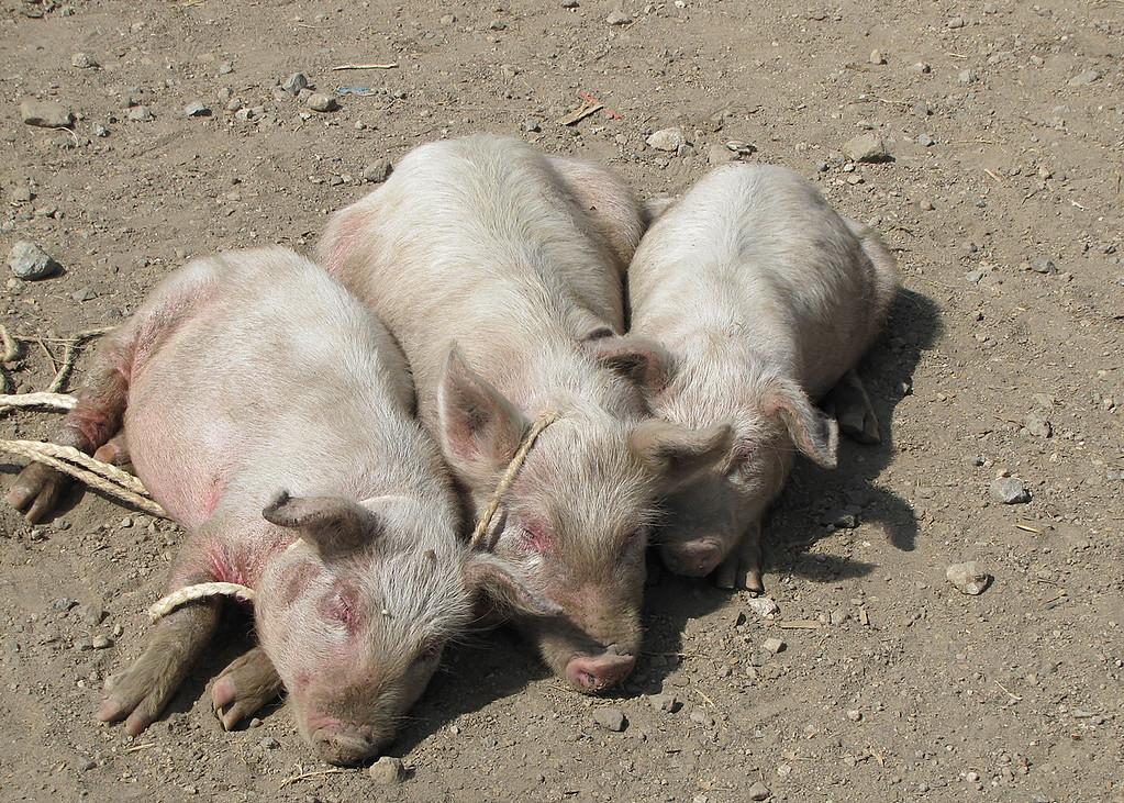 Pigs again
