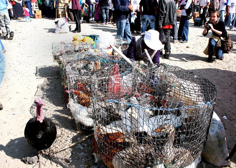 Chickens, turkeys and ducks