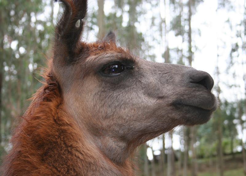 Meet Al.  He is the neighborhood llama where our friends, Tom and Karen, used to live.