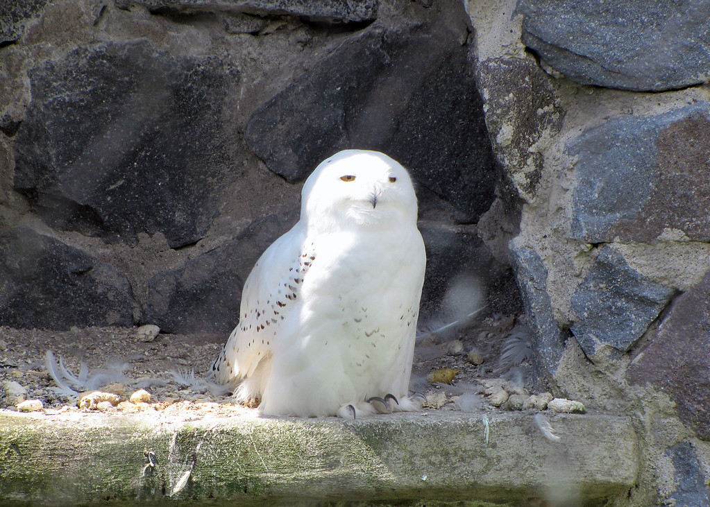Snowy owl at the Parque de Condor.