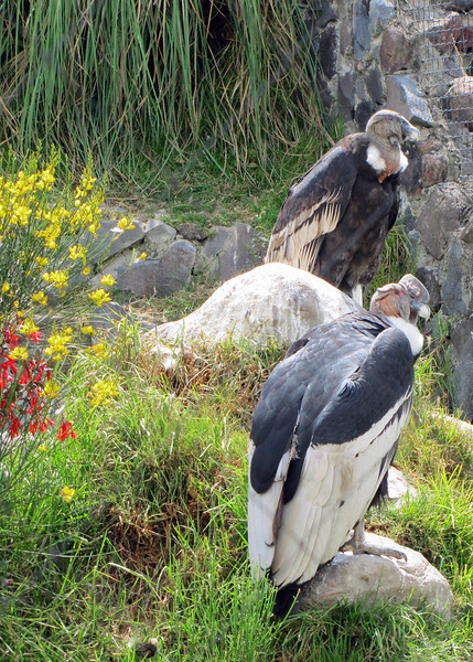 Mature Andean Condors at the Parque de Condor.