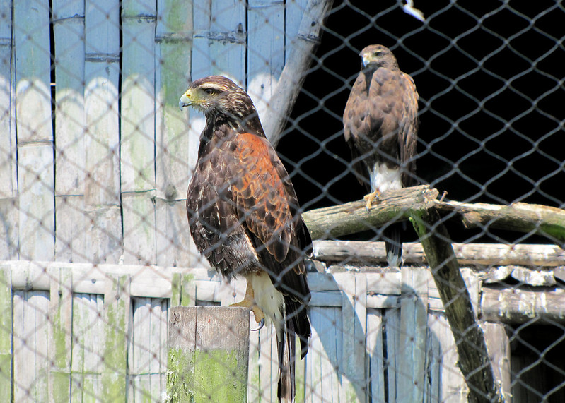 Harris Hawks at the Parque de Condor.
