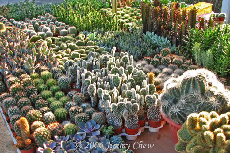 Cactuses at a morning mart.